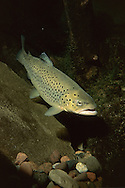 Brown Trout<br /> <br /> ENGBRETSON UNDERWATER PHOTO