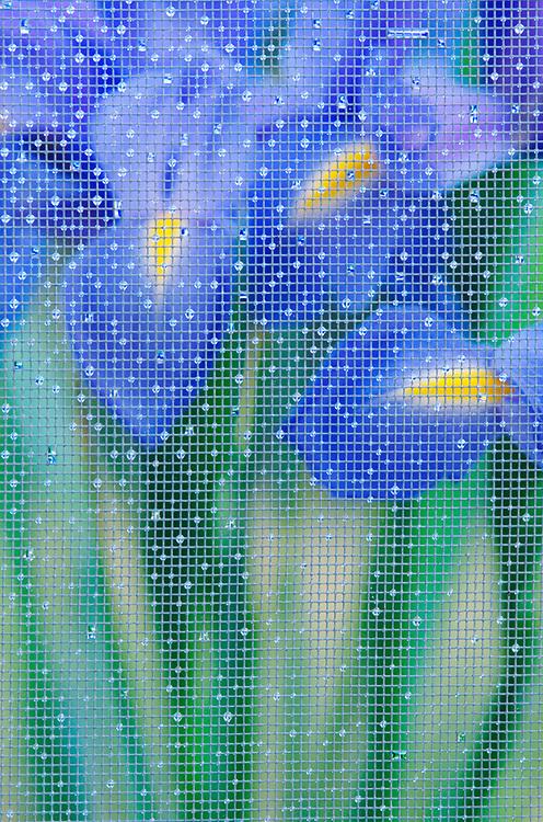 Irises and window screen, Olympic Peninsula, Washington, USA