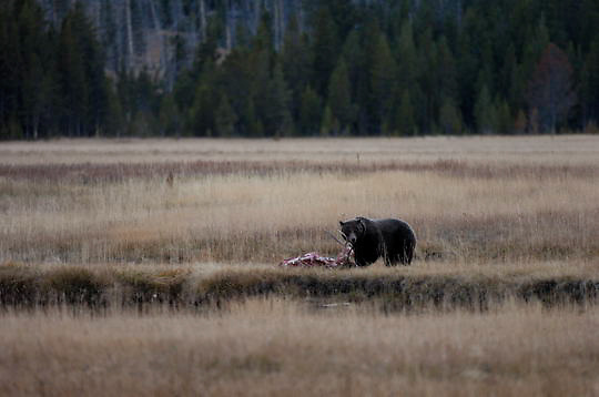 Grizzly Bear (Ursus arctos) Yellowstone National Park. Fall.