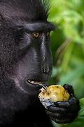 Crested Black Macaque (Macaca nigra) feeding. Tangkoko Reserve, northern Sulawesi, Indonesia.