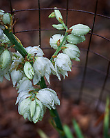 Yucca flowers.. Image taken with a Leica SL2 camera and 90-280 mm lens