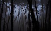 Dawn, Monterey Pines in Fog, Monterey, California