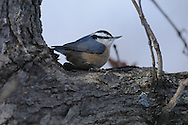 Nuthatch cozied up in the crotch of a tree branch in an oak tree in upstate NY.