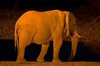 Elephant at a watering hole at sunset, Etosha National Park, Namibia