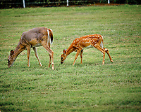 Doe with mange with fawn. Image taken with a Fuji X-T3 camera and 200 mm f/2 OIS lens (ISO 320, 200 mm, f/2.5, 1/480 sec).