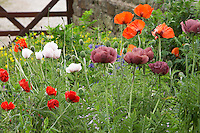 oriental poppies growing in a farmyard garden
