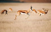 Springbuck pronking in open grassland, Etosha Natonal Park
