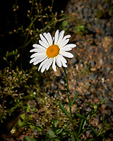 Daisy Flower. Image taken with a Leica CL camera and 18 mm f/2.8 lens.