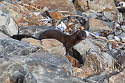American Mink (Mustela vison) on the rocks in Hulls Cove, Maine.