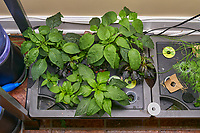 AeroGarden Farm 02, Right. Pepper Plants (106 days). Image taken with a Leica TL-2 camera and 35 mm f/1.4 lens (ISO 400, 35 mm, f/8, 1/50 sec).
