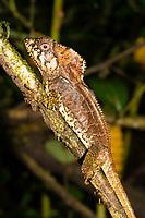 Casque-headed Lizard, Corytophanes cristatus, near Arenal Volcano National Park, La Fortuna, Costa Rica. Also called Helmet-headed Lizard, Helmeted Basilisk, or Smooth-helmeted Iguana