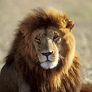 African Lion, (Panthera leo) Portrait of mature male. Serengeti Plains. Masai Mara Game Reserve.Kenya. Africa.