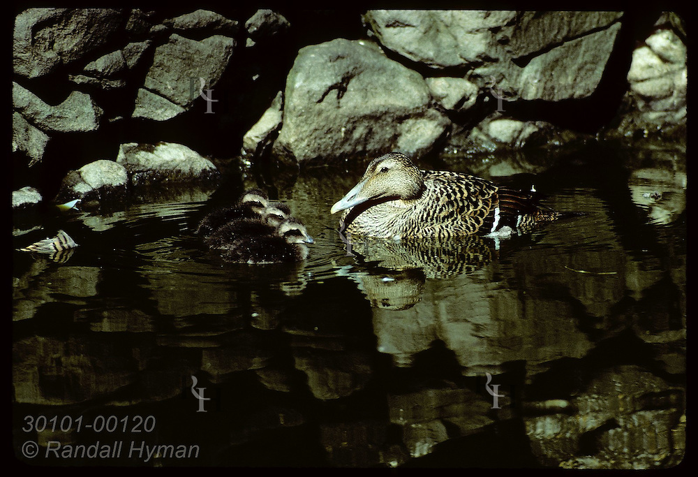 Eider duck seems to be lecturing her ducklings as they line up before her in pond; Vigur Is* Iceland