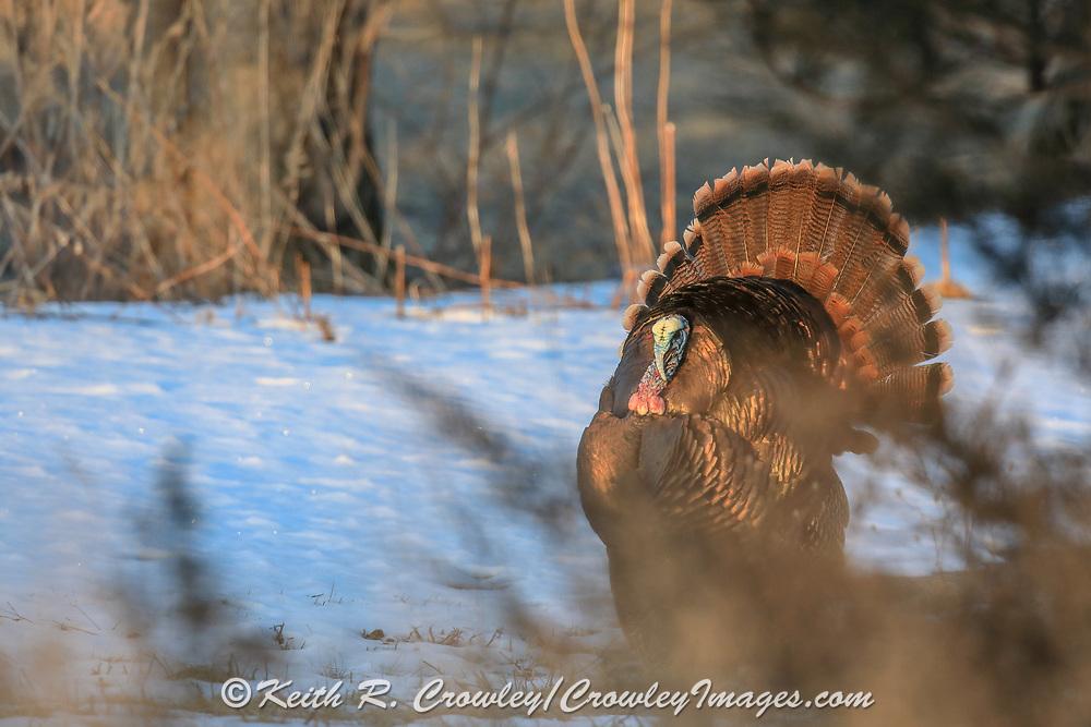 Eastern Wild Turkey Displaying in Early Spring, Snowy Habitat