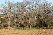 Leafless ancient oak trees in Staverton Thicks wood, Suffolk, England, UK