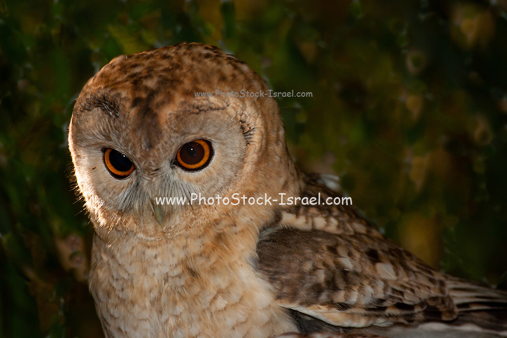 The desert owl or desert tawny owl (Strix hadorami), formerly known as Hume's owl. This species is a part of the family Strigidae, commonly known as typical owls, which contains most species of owl. The desert owl breeds in Israel, northeast Egypt, Jordan, and the Arabian peninsula. Its habitat includes desert, semi-desert, rocky ravines, and palm groves. It nests in crevices and holes in cliffs. Its diet consists of voles, mice and large insects. This is a medium-sized earless owl, smaller than the tawny owl at 29–33 cm in length. It is largely nocturnal and sedentary. Its stocky body and round head recall a small tawny owl, but it is paler, less streaked, particularly on the underparts, and has yellow eyes. Photographed in Israel in February
