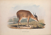 Antelope Kob From the book Zoologia typica; or, Figures of new and rare animals and birds described in the proceedings, or exhibited in the collections of the Zoological Society of London. By Fraser, Louis. Zoological Society of London. Published by the author in London, March 1847