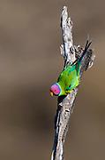 Male of plum-headed parakeets (Psittacula cyanocephala) from Pench National Park, Madhya Pradesh, India.