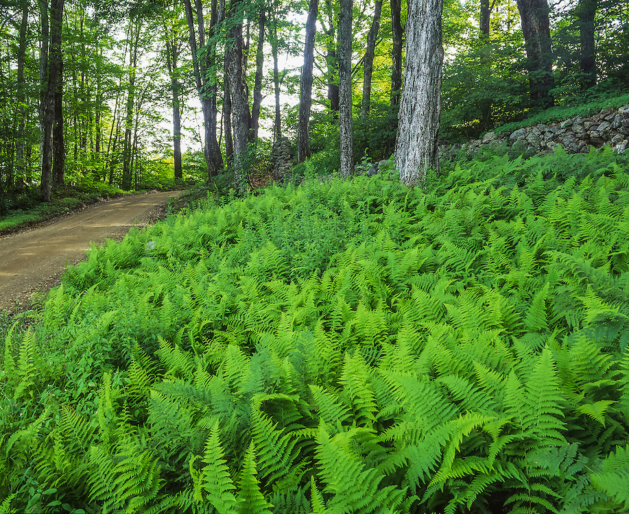 Ferns, stonewall & country road in summer, Acworth, NH