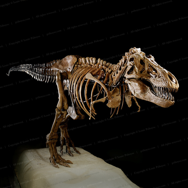 """T. Rex, """"tyrant lizard king,"""" was one of the largest-ever meat eating land animals.  The bi-pedal giant grew to some 40 feet (12 meters) and weighed up to 7 US tons (6.5 metric tons) and sported teeth that were nearly a foot-long (centimeters) with the root.<br /> T. Rex was one of the largest-ever meat eating land animals.  The bi-pedal giant grew to some 40 ft (12 meters) weighed up to 7 US tons (6.5 metric tons) and sported teeth that were nearly a foot-long (centimeters) with the root."""