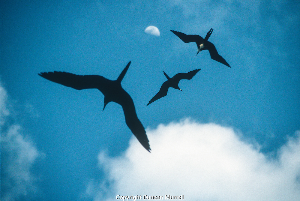 I would often lay on my back to gaze upwards, hypnotised by the languid flight and graceful form of the frigate birds flying overhead.