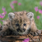 Mountain Lion or Cougar (Felis concolor) cub in a field of Shooting Star flowers in Montana. Captive Animal