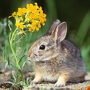 Mountain cottontail (Sylvilagus nuttallii) bunny portrait during spring in Montana.