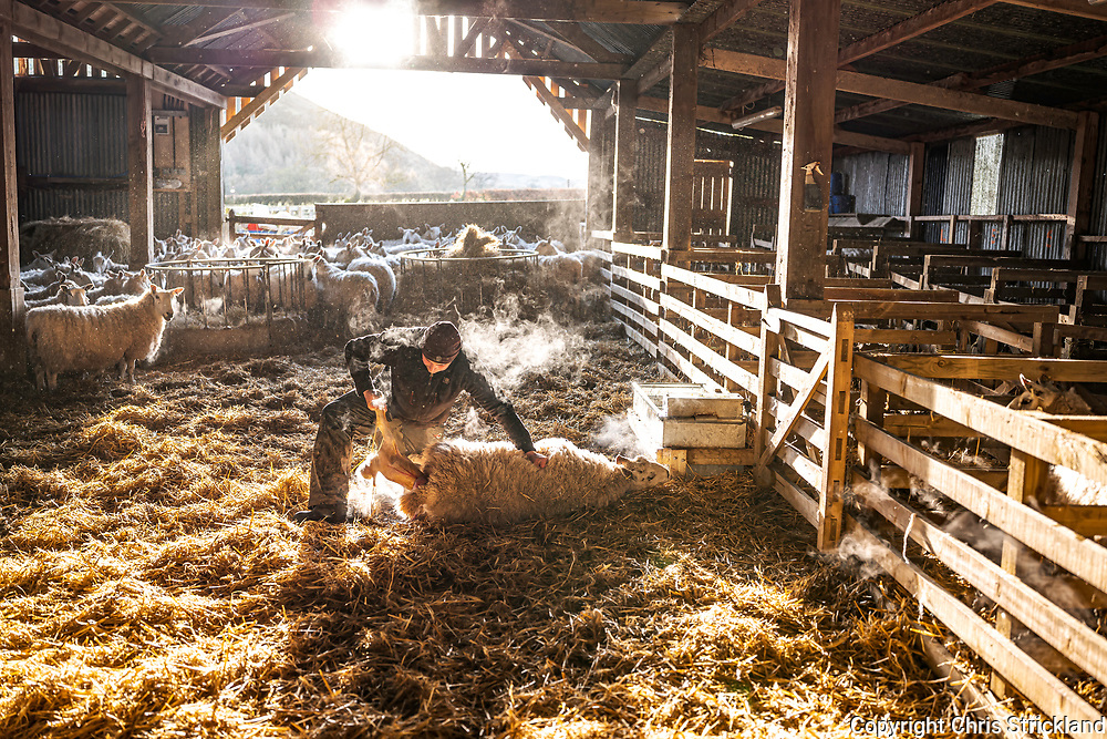 Oxnam, Jedburgh, Scottish Borders, Scotland, UK. 15th March 2021. Farmer Peter Hedley delivers the second of twin Cheviot mule Texel lambs at sunrise at Oxnam Row Farm in the Scottish Borders.
