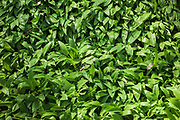 "Ramsons or wild garlic (Allium ursinum) gorgeously covers forest floor in broad leaved forest, Nature park ""Kuja"" (dabas parks ""Kuja""), Latvia Ⓒ Davis Ulands | davisulands.com"