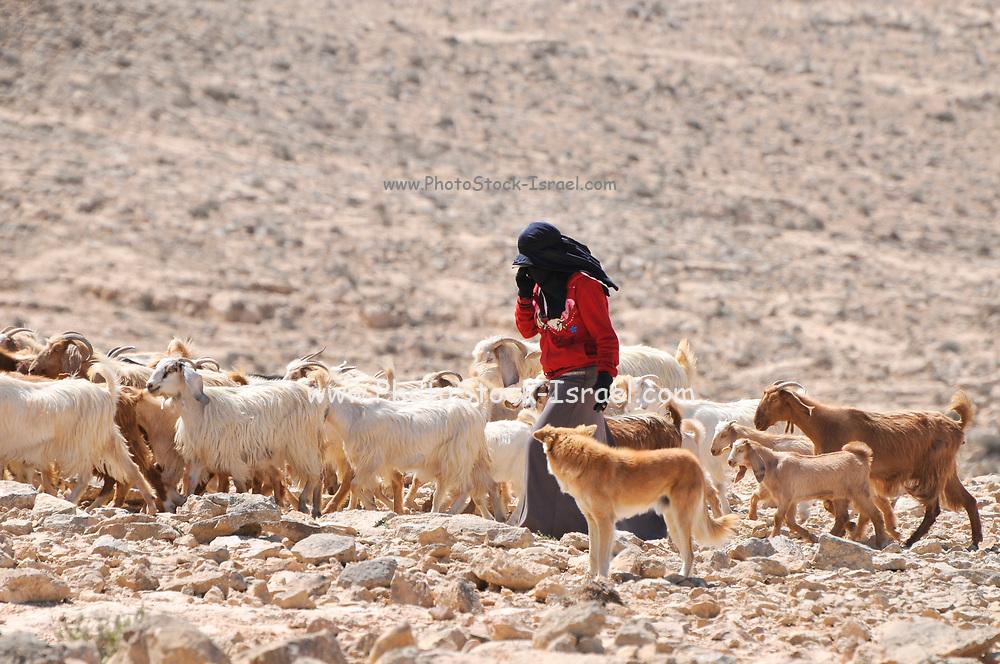 Israel, Negev desert, Mitzpe Ramon, female Bedouin shepherd and her herd of sheep