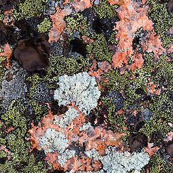 Lichens on pink Cadillac Granite on Conners Nubble in Maine's Acadia National Park.