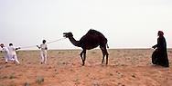 Seperating a camel from the herd, Alamrah in the Dahana Sands, Saudi Arabia