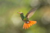 Rufous-tailed hummingbird, Amazilia tzacatl. Tandayapa Valley, Ecuador