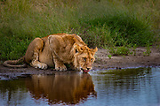 Young male lion, about 2 -3 years old, drinking from a waterhole in Serengeti National Park. Across Africa lion poplation has plummeted from 200,000 to less than 20,000 in 20 years.