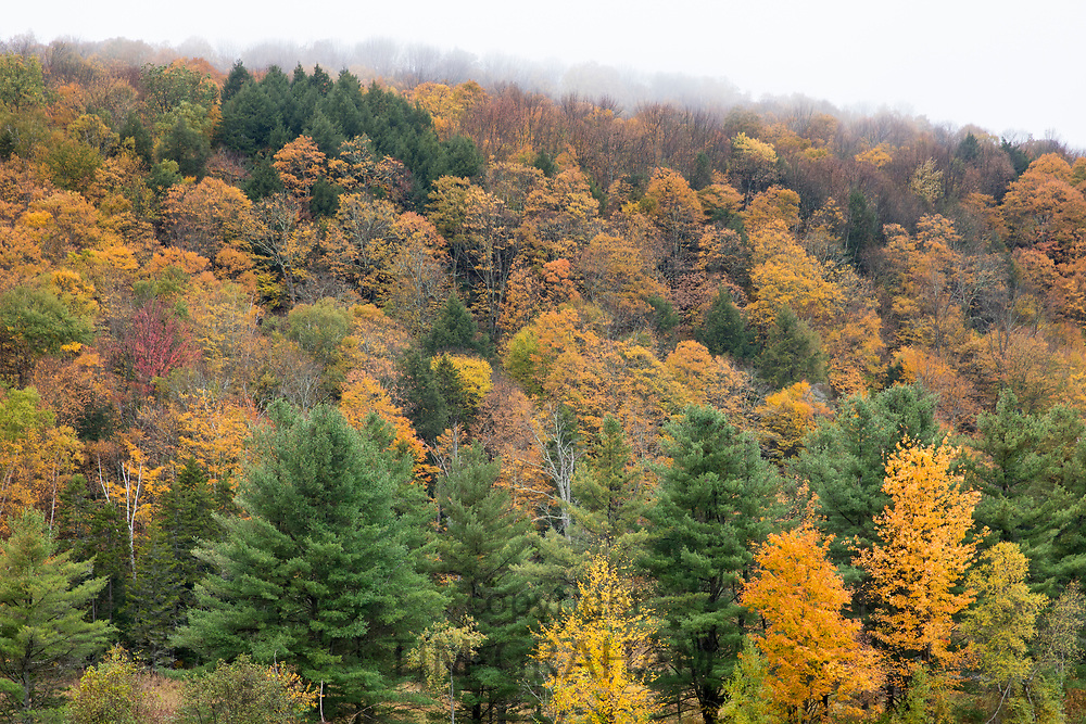 The Fall foliage colours of Maple, Aspen and Conifer trees  in Vermont, New England, USA