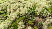 Reindeer Lichen, Frog Pelt Lichen and some moss