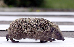Embargoed to 0001 Monday April 30 File photo dated 07/07/01 of a hedgehog as the annual hedgehog survey by BBC GardenersÕ World Magazine revealed that 57\% of those quizzed had not seen one of the prickly but much-loved mammals at all in their garden in 2017.