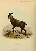 The Nilgiri tahr (Nilgiritragus hylocrius) [Here as Hemitragus bylocrius] is an ungulate that is endemic to the Nilgiri Hills and the southern portion of the Western and Eastern Ghats in the states of Tamil Nadu and Kerala in southern India. It is the state animal of Tamil Nadu.[2] Despite its local name, it is more closely related to the sheep of the genus Ovis than the ibex and wild goats of the genus Capra. colour illustration From the book ' Wild oxen, sheep & goats of all lands, living and extinct ' by Richard Lydekker (1849-1915) Published in 1898 by Rowland Ward, London