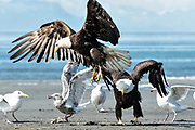 A bald eagle is chased away by a larger dominant eagle as they fight over fish scraps on the beach at Anchor Point, Alaska.