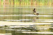 Hobby hunting dragonflies over the surface of a lake. Surrey, UK.