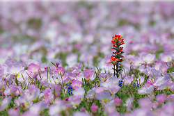 Pink Evening Primrose and Indian Paintbrush wildflowers off of FM 1382, Cedar Hill, Texas, USA.