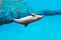 bottlenose dolphin, playing with a hula hoop, Tursiops truncatus (c)