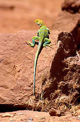 AZ, Monument Valley, collared lizard   .Photo Copyright: Lee Foster, lee@fostertravel.com, www.fostertravel.com, (510) 549-2202.Image: azmonu209