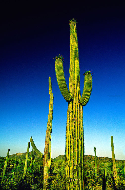 Saguaro Cactus, Organ Pipe Cactus National Monument, Ajo, Arizona USA