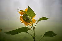 Sunflowers on a Foggy Morning. Image taken with a Leica TL2 camera and 35 mm f/1.4 lens