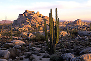 MEXICO, BAJA CALIFORNIA Central Desert, with Giant Cardon cactus