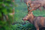 Male, Stag, Père David's deer, or Milu, Elaphurus davidianus, Hubei Tian'ezhou Milu National Nature Reserve, Shishou, Hubei, China