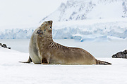 A Southern ElephantSeal (Mirounga leonina) raises its head to call out, Penguin Island, South Shetland Islands