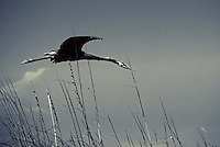 A Great Gray Heron skims the dunes at Apollo Beach, Fl, a location that is known for Manatee sightings.