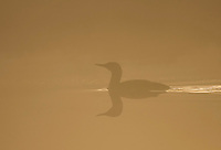 Red-throated diver (Gavia stellata) silhouetted at dawn, Bergslagen, Sweden.